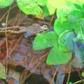 写真: 冬眠前のカエル