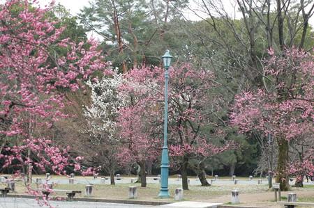 出水広場の梅