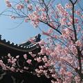 鐘楼と椿寒桜(ツバキカンザクラ)