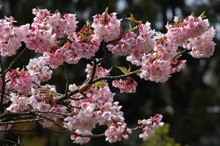 寒桜(カンザクラ)はもう散り初め、、、