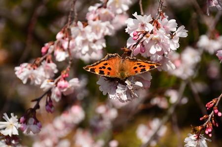 御会式桜に止まるヒオドシチョウ