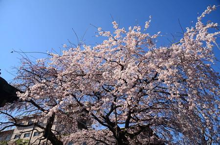 平安女学院大学有栖館の枝垂れ桜