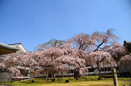 醍醐深雪桜