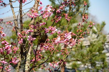 咲き始めの陽光(ヨウコウ)