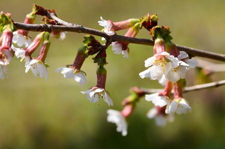 丁字桜(チョウジザクラ)