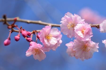 咲き始めた八重紅枝垂れ(ヤエベニシダレ)