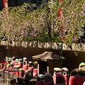 半分葉桜の枝垂れ桜