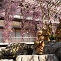 Photos: 御幸桜