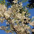 Photos: 白き桜