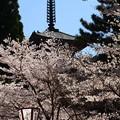 Photos: 醍醐寺の桜風景