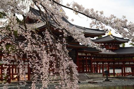 鳳凰堂と枝垂れ桜
