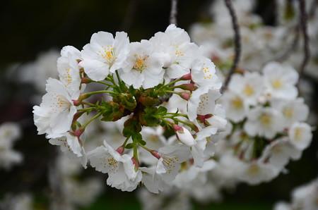 清所門向かいの桜