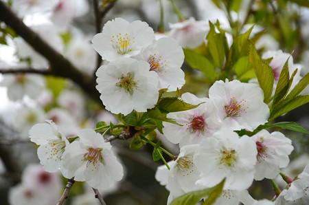 清所門向かいの桜2