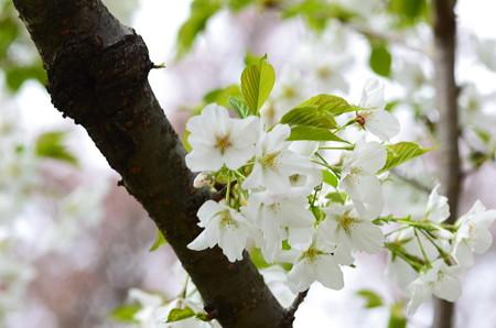 高桑星桜(タカクワホシザクラ)