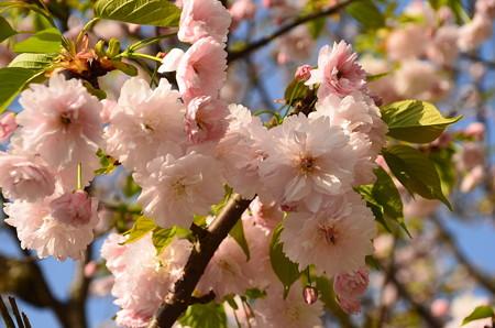 国際会館の桜