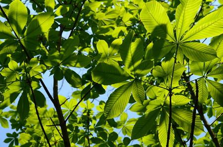 栃の葉の陰影