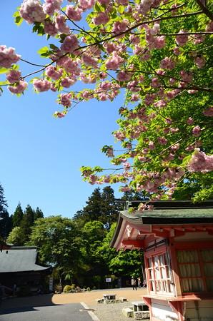 鐘楼脇の桜