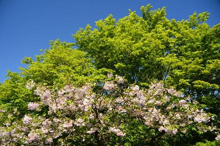 桜と新緑と青空~