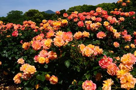 アンネの薔薇と比叡山