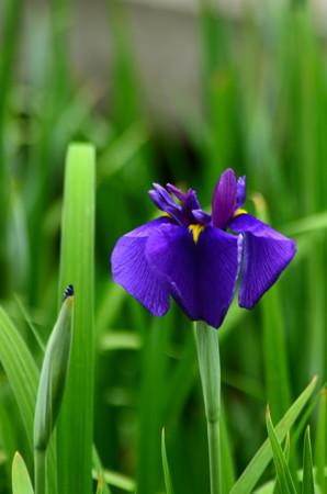 里紫(サトムラサキ)