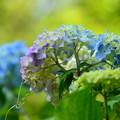 ツートンカラーな紫陽花