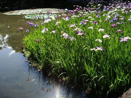 花菖蒲と空を映す白虎池