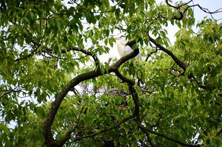 巣の脇の青鷺(アオサギ)