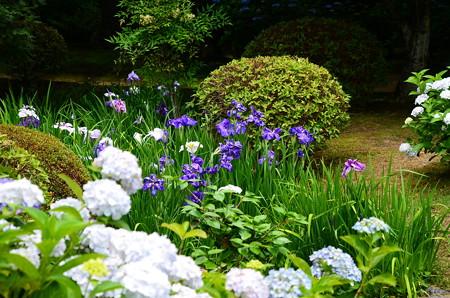 花菖蒲と紫陽花咲く法金剛院
