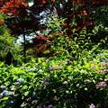 写真: 赤もみじと紫陽花とブッドレア