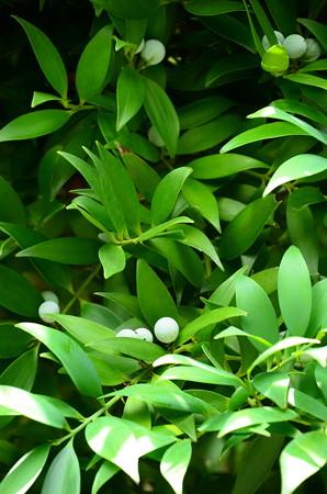 梛木(ナギ)