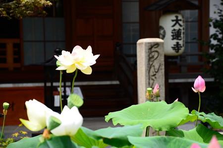 大蓮寺の蓮