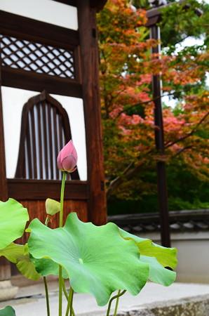 蓮と紅葉~~~