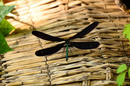 羽黒蜻蛉  (ハグロトンボ)