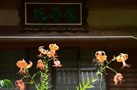 覚圓院の鬼百合(オニユリ)