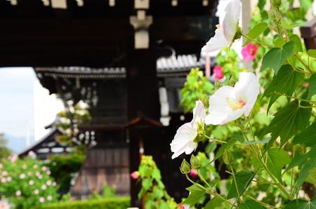 門前の芙蓉