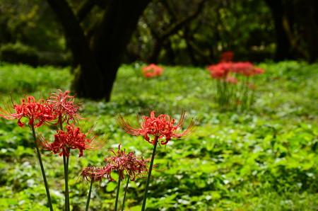梅林の彼岸花(ヒガンバナ)