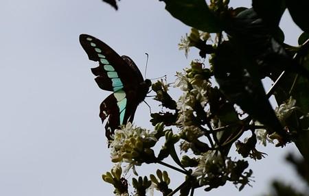 七子花に止まるアオスジアゲハ