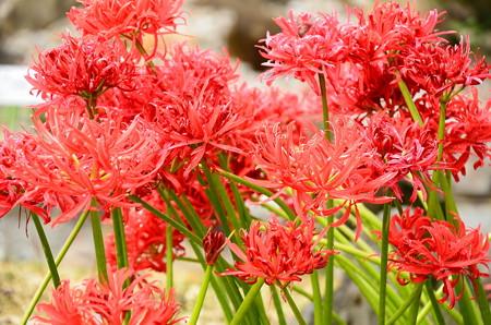 八重咲き彼岸花(ヤエザキヒガンバナ)