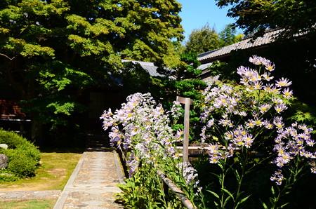紫苑咲く源光庵