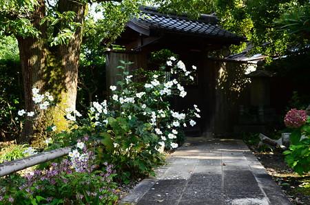 秋明菊(シュウメイギク)
