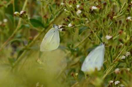 晩秋の紋白蝶(モンシロチョウ)