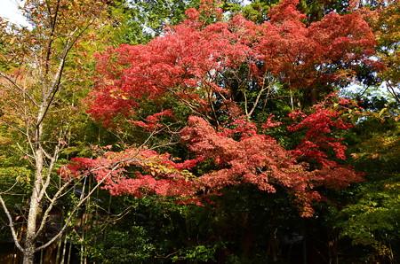叶匠寿庵の紅葉