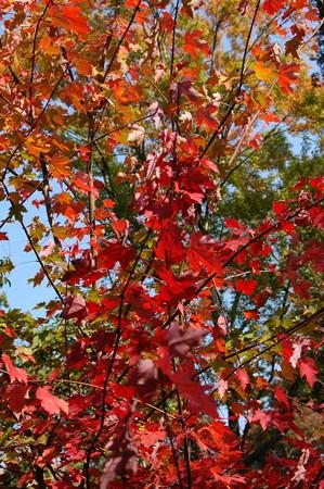アメリカ花の木(アメリカハナノキ)