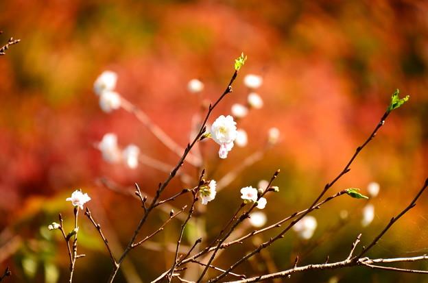 紅葉を背景に咲く桜