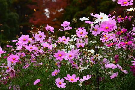 紅葉の前の秋桜(コスモス)