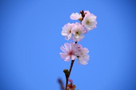 御会式桜(オエシキザクラ)