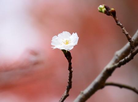 紅葉の中の子福桜(コブクザクラ)