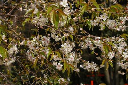 満開のヒマラヤ桜