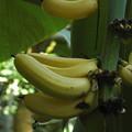Photos: バナナ