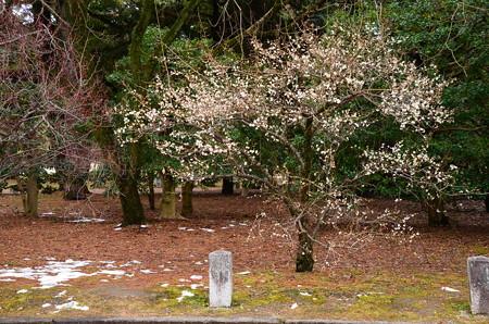 白梅も4~6分咲き